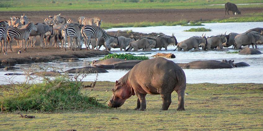 Rondo Dwarf Safari